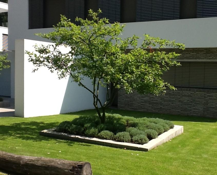 Bepflanzung garten - Baum vorgarten immergrun ...